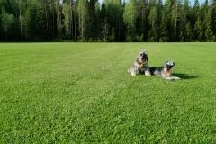 Siirtonurmikkopelto ja koirat