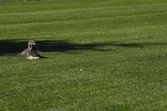 Siirtonurmikkopelto ja koira